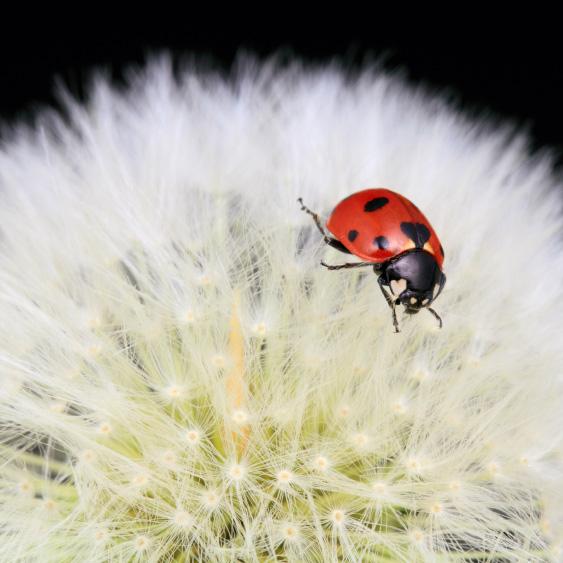 Ladybug-Dandelion-Static07-good