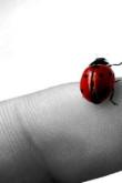 Ladybug Fingertip Static05-better